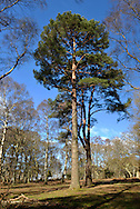 Solitary Scots Pine - Pinus sylvestris, Matley Wood, New Forest National Park, Hampshire