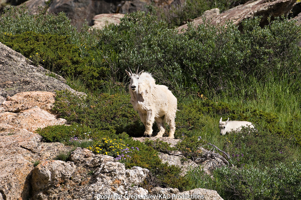 Mountain Goat.Oreamnos americanus.adult and kid.Blue Lakes,.Summit Co., Colorado.23 July 2008