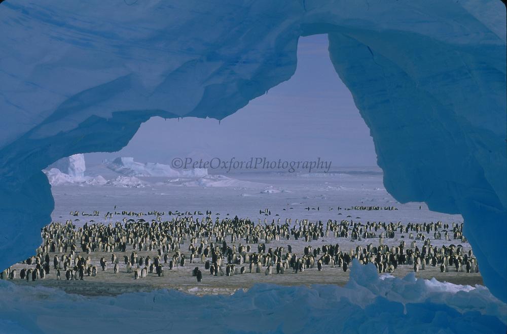Atka Bay Penguin Rookery and Ice Arch<br />Emperor Penguin Colony<br />Aptenodytes forsteri<br />ANTARCTICA