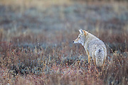 Coyote (Canis latrans) in Habitat