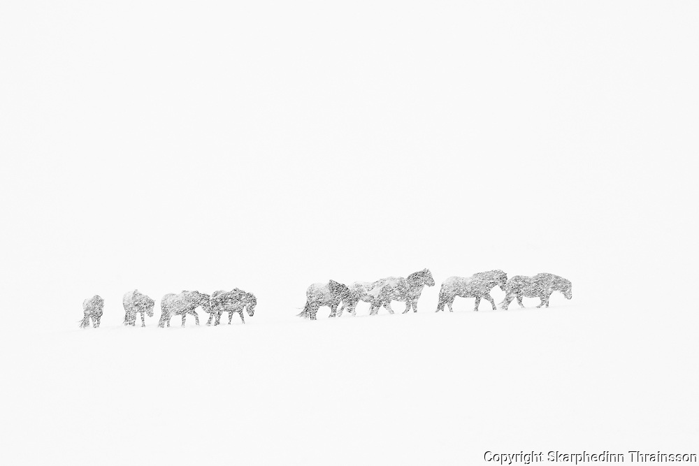 February 05 - Group of Icelandic horses traveling through a blizzard snowstorm in south of Iceland.<br />