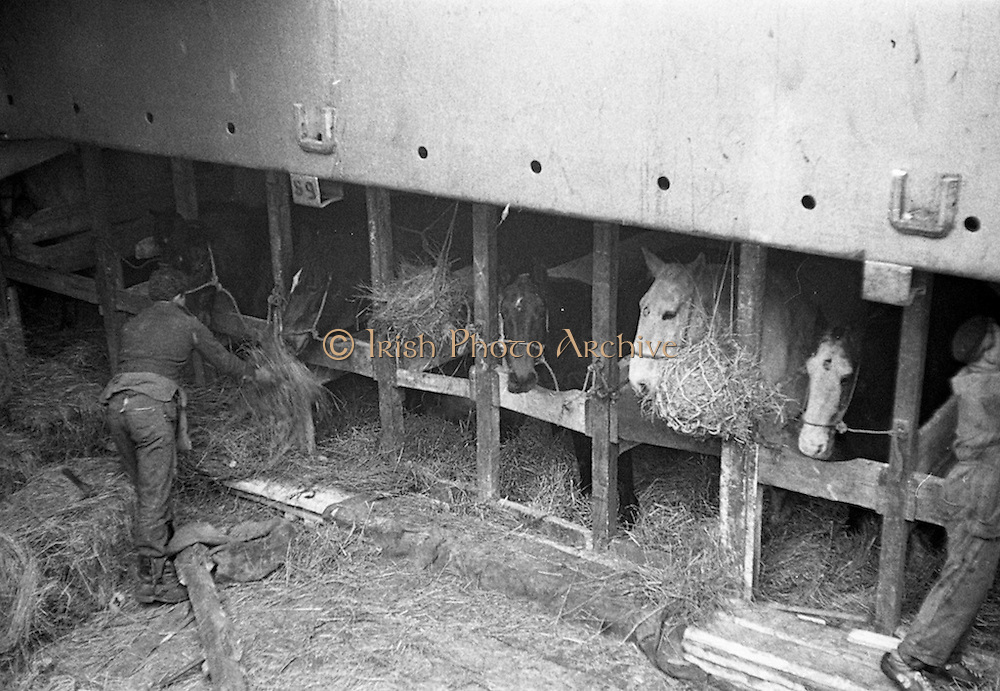 16/01/1960<br /> 01/16/1960<br /> 16 January 1960<br /> Horses for slaughter being loaded for export to the Netherlands from Dublin. Horses in the cargo hold of the &quot;Theano&quot;.