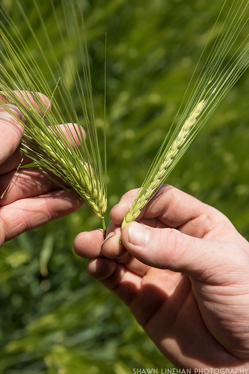 2-row vs 6-row barley