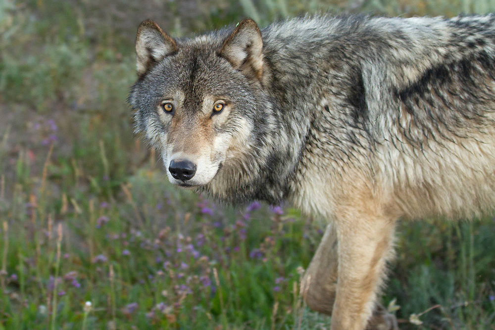 A member of Yellowstone's Mollie's wolf pack locks eyes with this photographer while traveling through Hayden Valley in Yellowstone National Park.