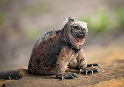 Coloration of iguanas ranges from dark greys to sandy tones to vivid orange.