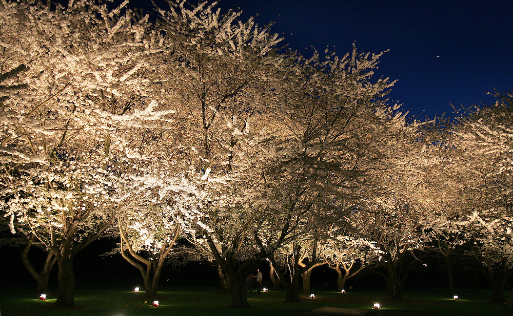 Spotlights illuminate the blooming cherry trees lining the Hocking on the university's campus as the sun goes down on Monday, 4/2/07.