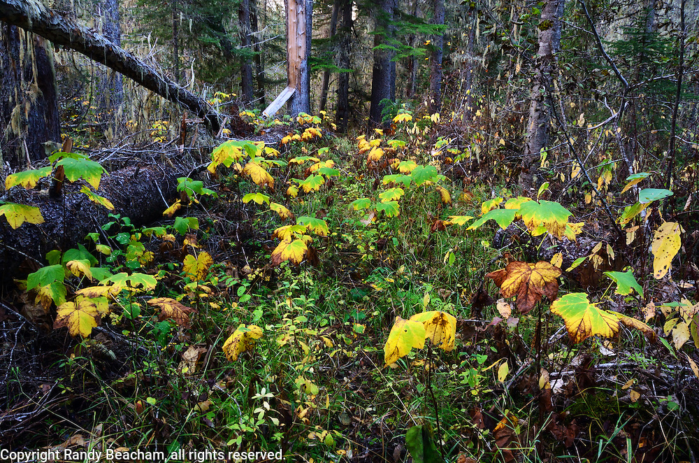 West Fork Yaak River Trail in fall. Yaak Valley, Montana.