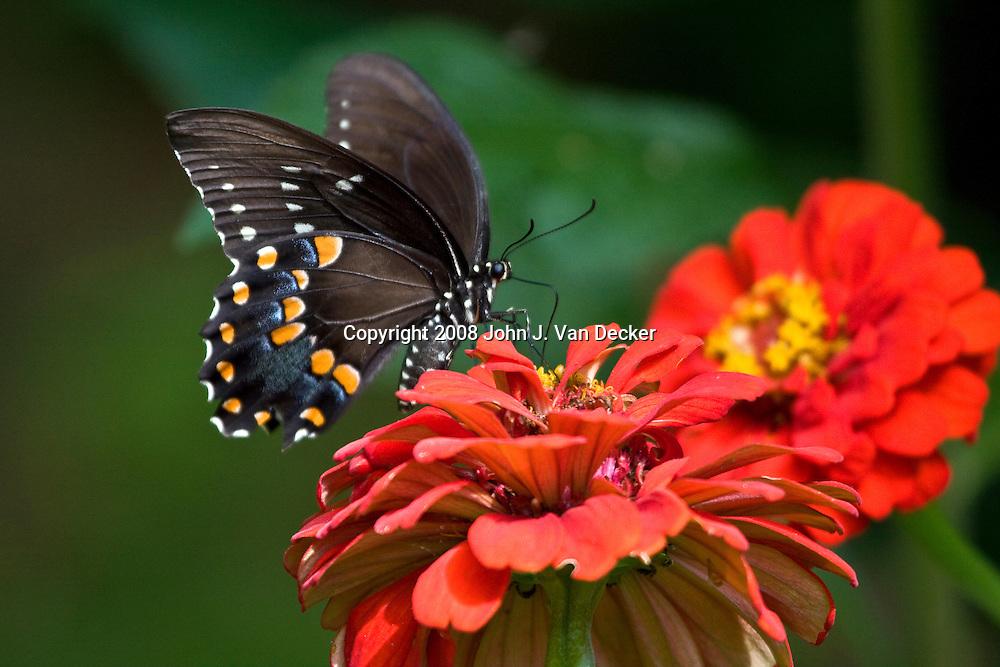 Black Swallowtail Butterfly, Papilio polyxenes, on red zenia flower