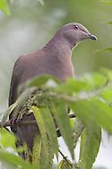 Short-billed pigeon (Columba nigiostris), Osa Peninsula, Costa Rica