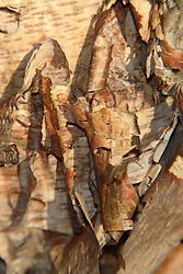 01 June 2007: Shots from the backyard, river birch tree bark
