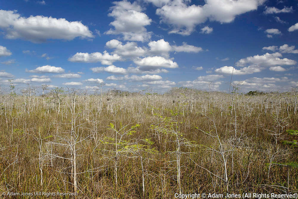 Dwarf Cypress forest, Everglades National Park, Florida