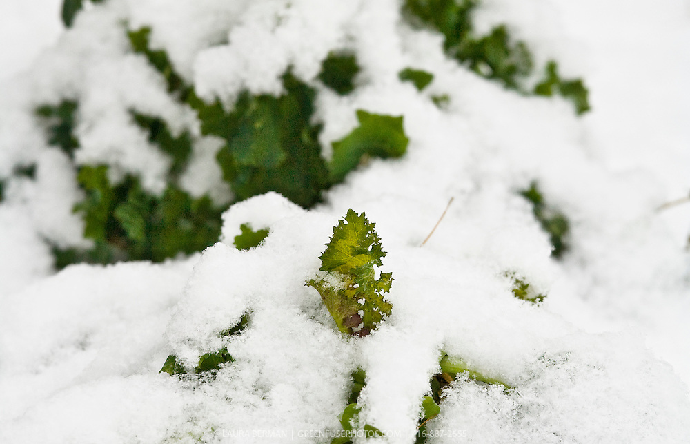 Kale plants in a snow-covered vegetable garden..
