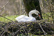 Female mute swan on nest, Donnington, Gloucestershire, United Kingdom
