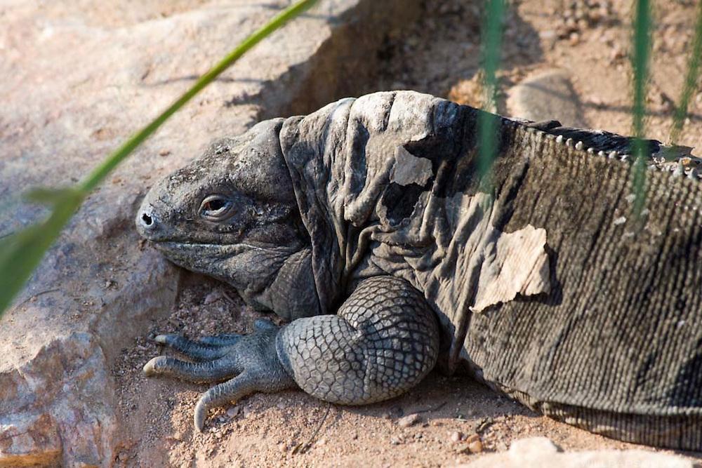 A rock iguana at the San Diego Zoo