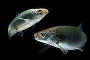 [M] European whitefish (Coregonus lavaretus) (captive & digital composite of two images) | Große Maräne oder Lavaret (Coregonus lavaretus)
