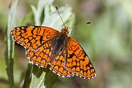 Chlosyne p. palla - Northern Checkerspot