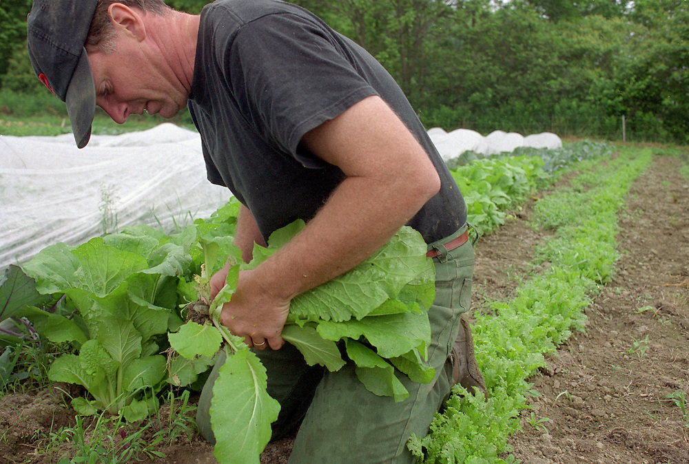 Kyle Jones picks Chinese cabbage at Fat Rooster Farm on June 19, 2003. The farmers are constantly trying new crops to see if they sell at market. (Photo by Geoff Hansen)