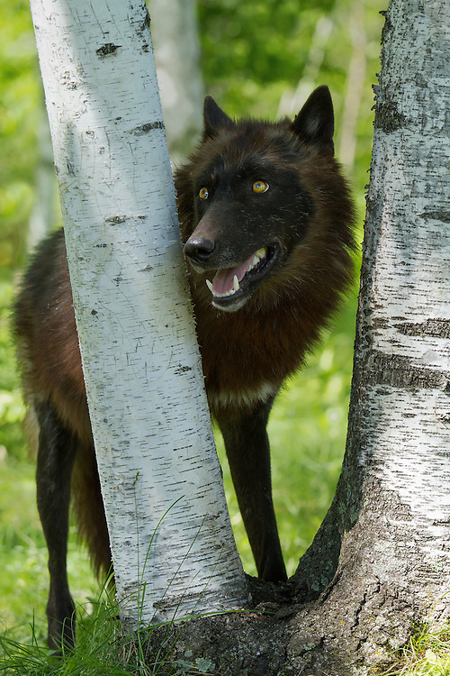 Black wolf looking through birch trees.<br />