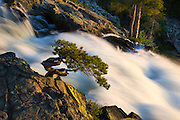 Bonsai lodgepole pine tree along the raging torrent of Eagle Falls above Emerald Bay, on the Southeast shore of Lake Tahoe, in Eldorado National Forest, Sierra Nevada mountains of Northern California.