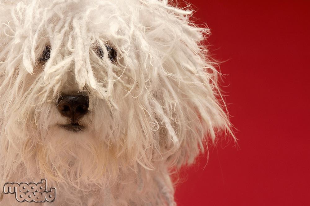 Cute Komondor dog close-up