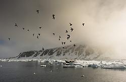 Little Auk (Alle alle) and Walrus (Odobenus rosmarus) in Svalbard, Norway