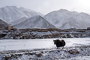 A yak stands along the frozen banks of the Mekong river in Zado, Tibet (Qinghai, China).