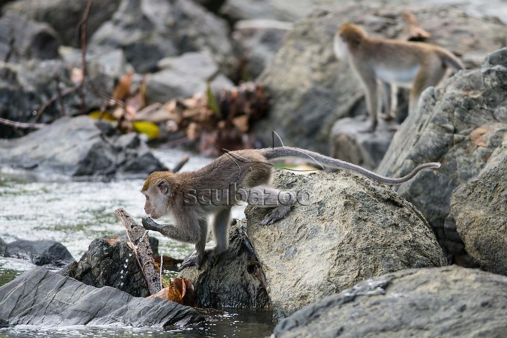 Crab-eating Macaque, Macaca fascicularis, foreging near stream,  Danum Valley, Sabah, Borneo, East Malaysia.