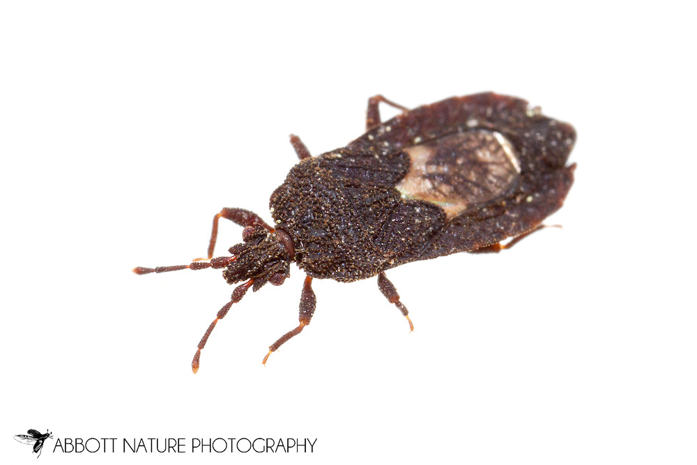 Flat Bug (Mezira sp.)<br /> LOUISIANA: Rapides Parish<br /> Trib of Little Bayou Clear off FS Rd 249 near Woodworth<br /> 2-Apr-2015<br /> J.C. Abbott #2715 &amp; K.K. Abbott