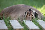 Hooker's Sea lion, Curio Bay, New Zealand