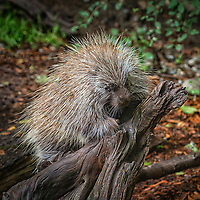 Common Porcupine - Erethizon dorsatum