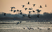 Sandhill Cranes On The Platte