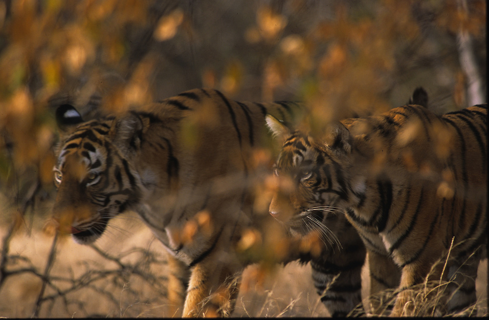 Tigress and her male cub moving through the trees