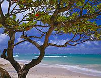 Kamani tree frames view of Anini Beach.