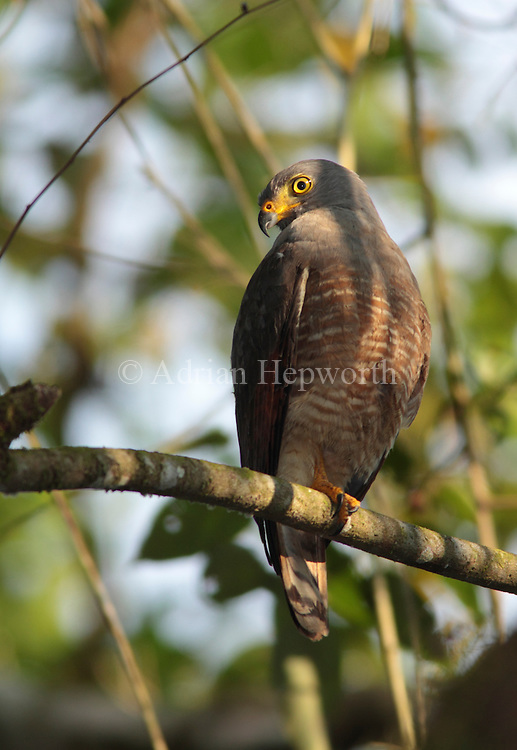 Roadside Hawk (Buteo magnirostris) in rainforest. Corcovado National Park, Osa Peninsula, Costa Rica. March 2012. We accept payments via PayPal.