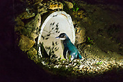 Blue Penguin at the Oamaru Blue Penguin Colony, Oamaru, Otago, South Island, New Zealand