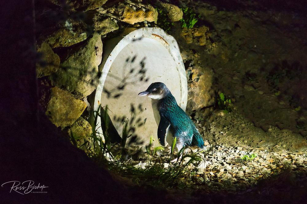 Blue Penguin at the Oamaru Blue Penguin Colony, Oamaru, Otago, South Island, New Zealand