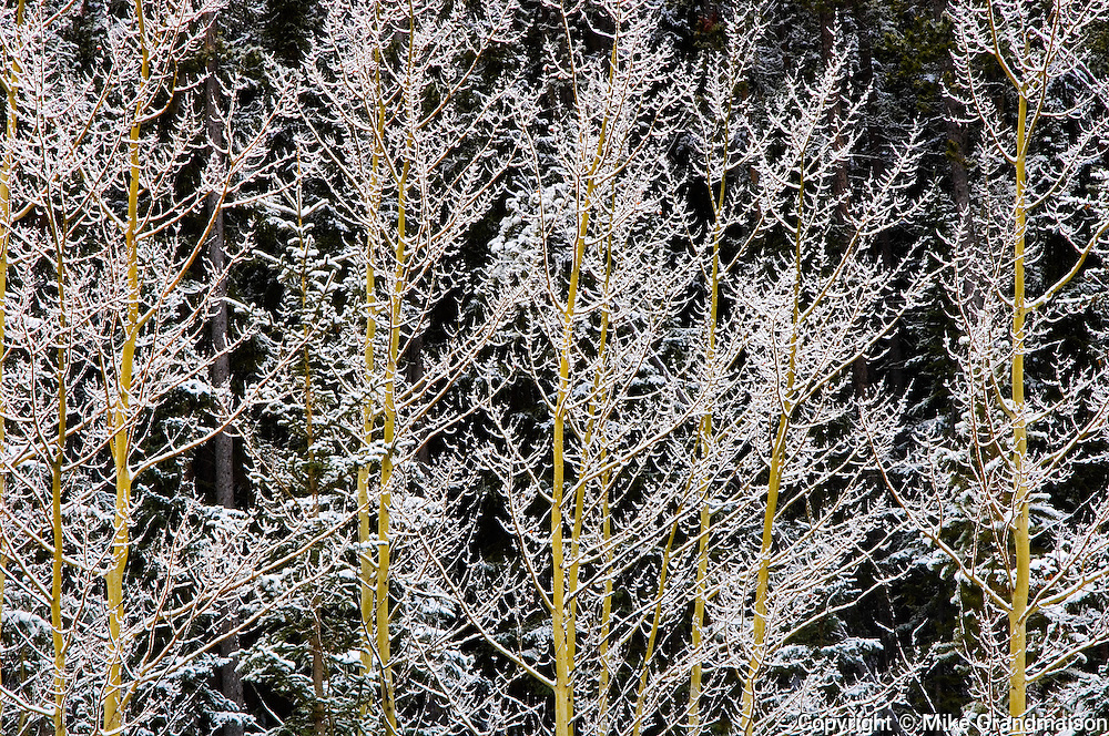 Hoarfrost on aspen<br /> Mt. Robson Provincial Park<br /> British Columbia<br /> Canada