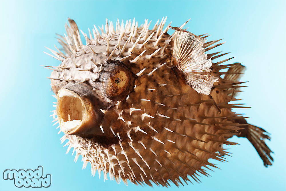Mounted Puffer Fish