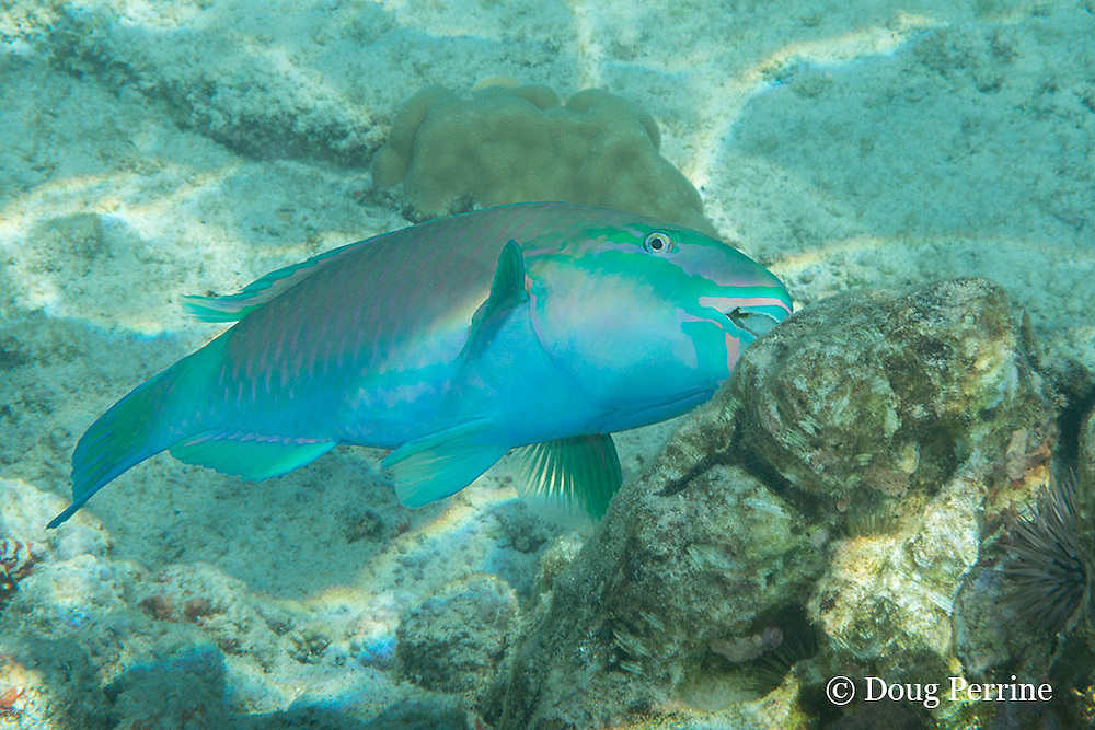 terminal phase ( supermale ) common parrotfish, palenose parrotfish or uhu, Scarus psittacus, feeding by scraping algae off coral rock, Kahaluu Beach Park, Kona, Hawaii ( Central Pacific Ocean )