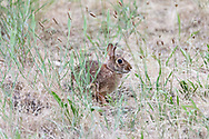 An Eastern Cottontail (Sylvilagus floridanus) in a field at Blackie Spit near Crescent Beach in Surrey, British Columbia, Canada.  Eastern Cottontail rabbits are an introduced species to this area and are not native.