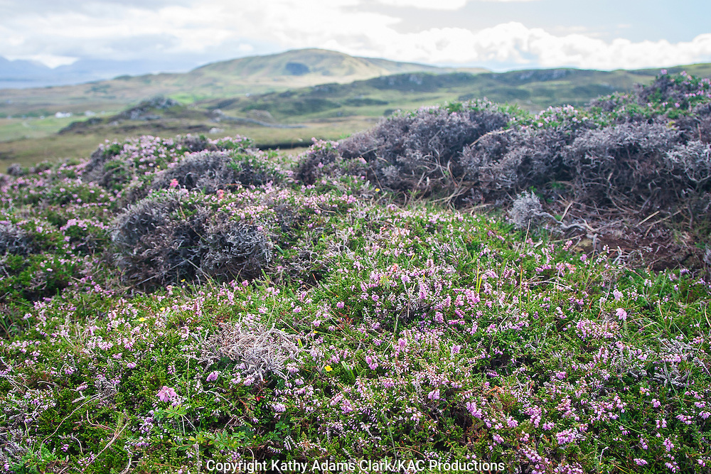 Wildflowers on Clare Island, western Ireland in summer.