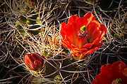 A blooming Claret Cup Cactus inside Joshua Tree National Park