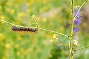 close up of a caterpillar crawling on a twig .
