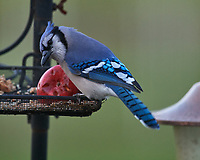 Blue Jay at the bird feeder. Image taken with a Nikon D5 camera and 600 mm f/4 VR lens (ISO 1600, 600 mm, f/5.6, 1/15 sec).
