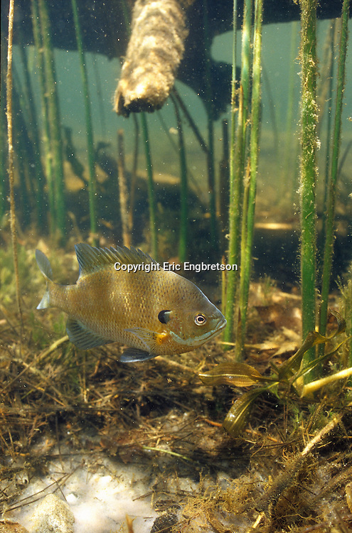 Bluegill guarding spawning bed<br /> <br /> ENGBRETSON UNDERWATER PHOTO