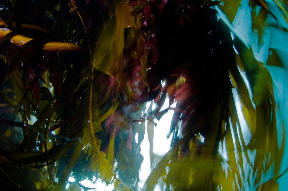 Kelp, Laminaria hyperborea<br /> Atlantic marine life, Saltstraumen, Bodö, Norway