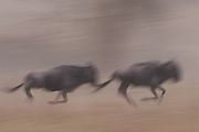 Running wildebeest in the Serengeti