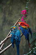 March 24, 2018; Omaha, NE, USA; A Blue-And-Yellow Macaw and a Scarlet Macaw in the Lied Jungle at Omaha's Henry Doorly Zoo and Aquarium.