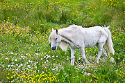 Malnourished thin and boney Connemara pony in Connemara, County Galway