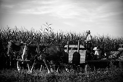 Amish people harvest corn on a field near Mechanicsville, MD, in St. Mary's County, August 9 ,2017. Three Amish communities settled in Maryland in 1830, one of those, the largest, is  in St. Mary's County near the town of Mechanicsville in the southern Chesapeake Bay area. The Amish people, who are Christians and originally from Switzerland, live simple lives, mostly as farmers, and reject modern technology. Researchers of Ohio State University estimate that nearly 251,000 Amish people live in America and Canada, which means that the population has more than doubled since 1989. It is predicted that the population will double again to half a million within the next two to three decades.(Photo by Astrid Riecken For The Washington Post)